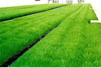 cỏ lúa mì